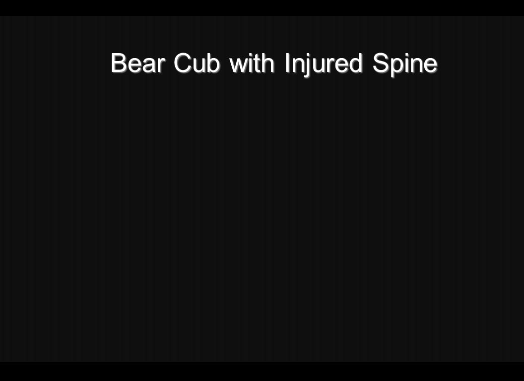 Bear Bear Cub with Injured Spine