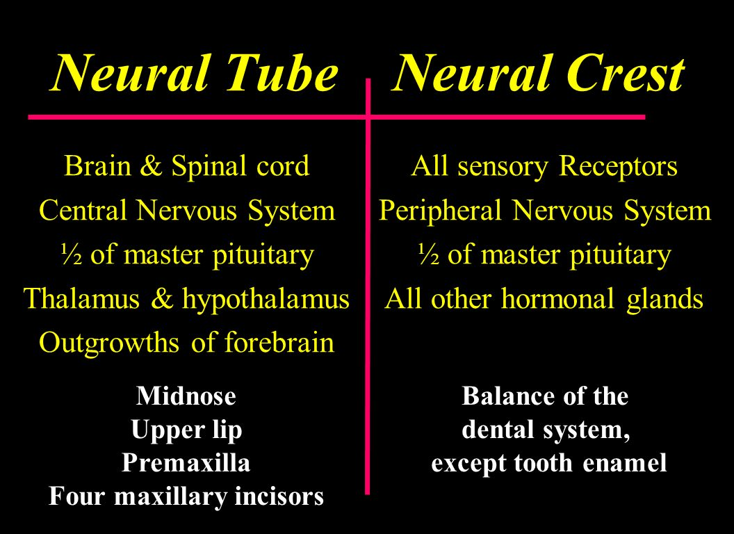 Neural Tube Neural Crest Brain & Spinal cord Central Nervous System ½ of master pituitary Thalamus & hypothalamus Outgrowths of forebrain All sensory
