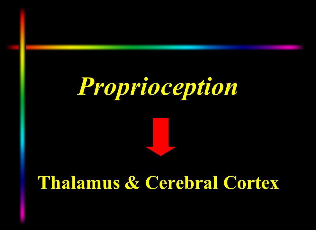 Proprioception Thalamus & Cerebral Cortex