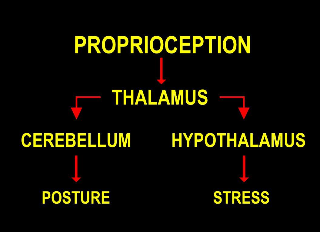 PROPRIOCEPTION THALAMUS CEREBELLUMHYPOTHALAMUS POSTURESTRESS