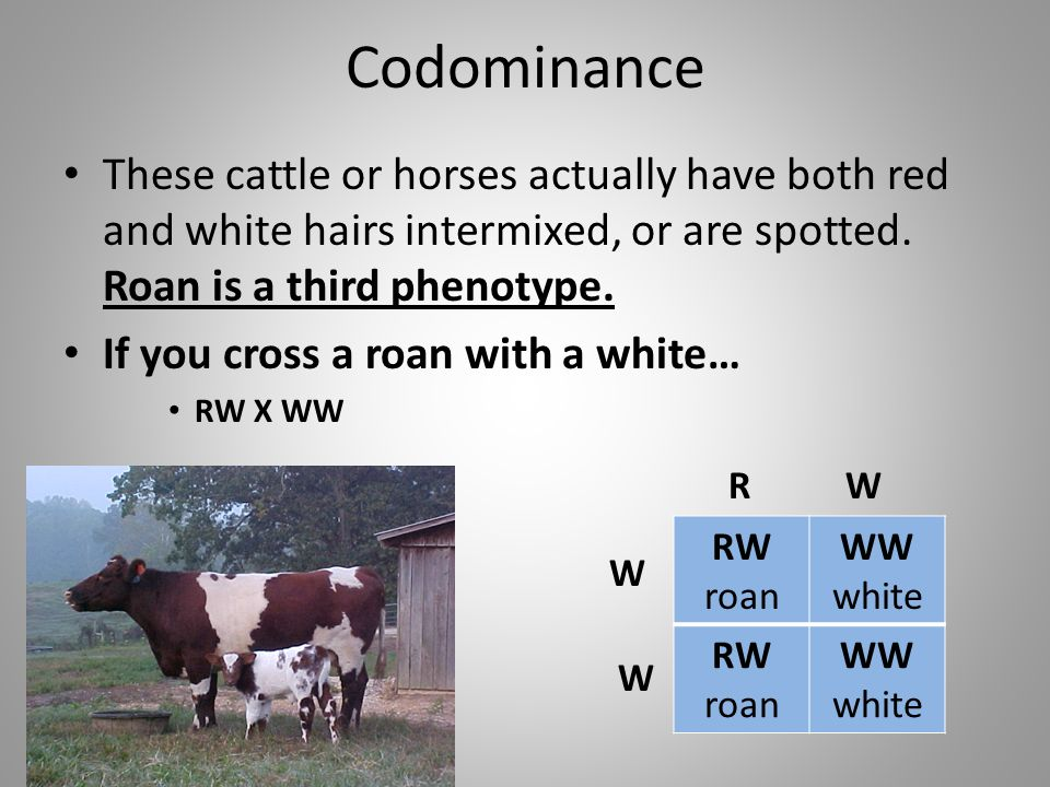 Codominance These cattle or horses actually have both red and white hairs intermixed, or are spotted. Roan is a third phenotype. If you cross a roan w