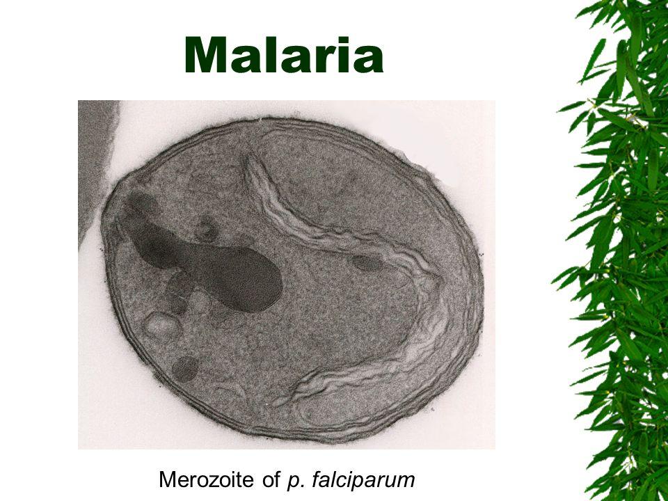 Malaria Merozoite of p. falciparum