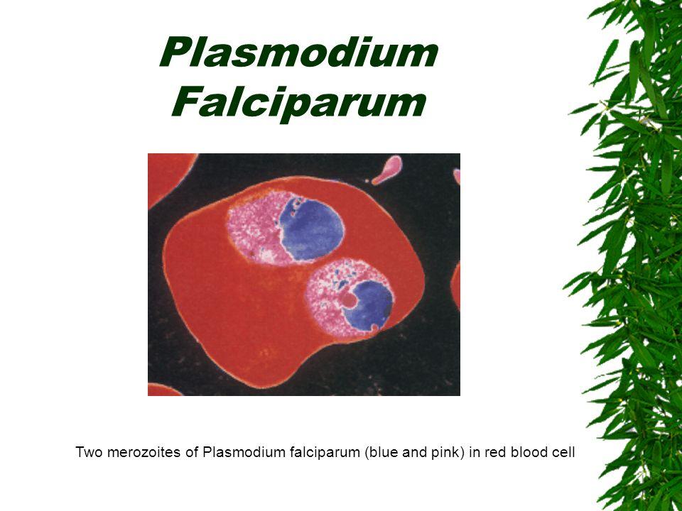 Plasmodium Falciparum Two merozoites of Plasmodium falciparum (blue and pink) in red blood cell