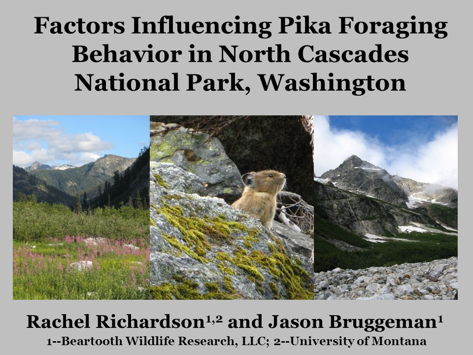 Factors Influencing Pika Foraging Behavior in North Cascades National Park, Washington Rachel Richardson 1,2 and Jason Bruggeman 1 1--Beartooth Wildlife Research, LLC; 2--University of Montana