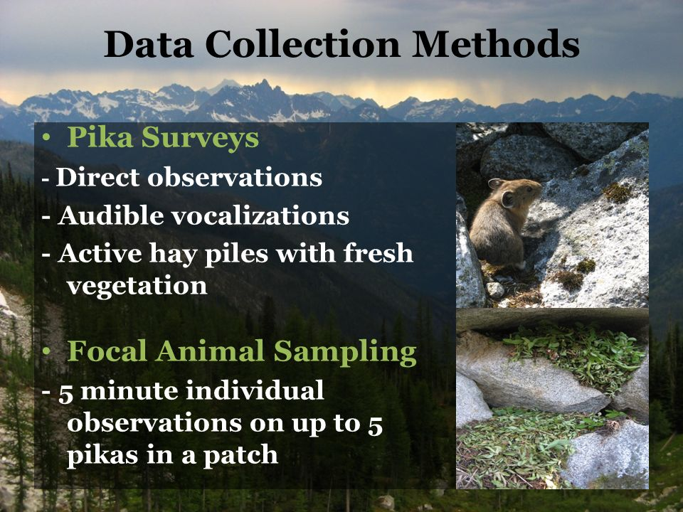 Data Collection Methods Pika Surveys - Direct observations - Audible vocalizations - Active hay piles with fresh vegetation Focal Animal Sampling - 5 minute individual observations on up to 5 pikas in a patch