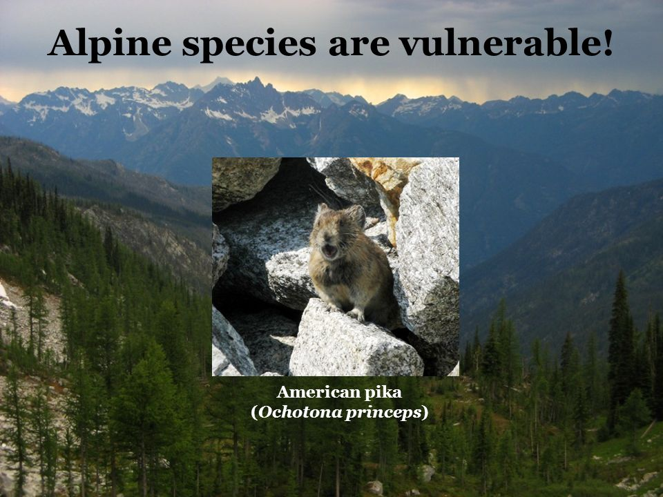 Alpine species are vulnerable! American pika (Ochotona princeps)