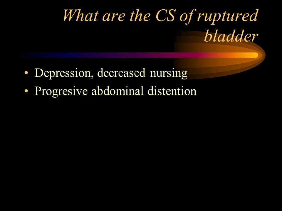 What are the CS of ruptured bladder Depression, decreased nursing Progresive abdominal distention