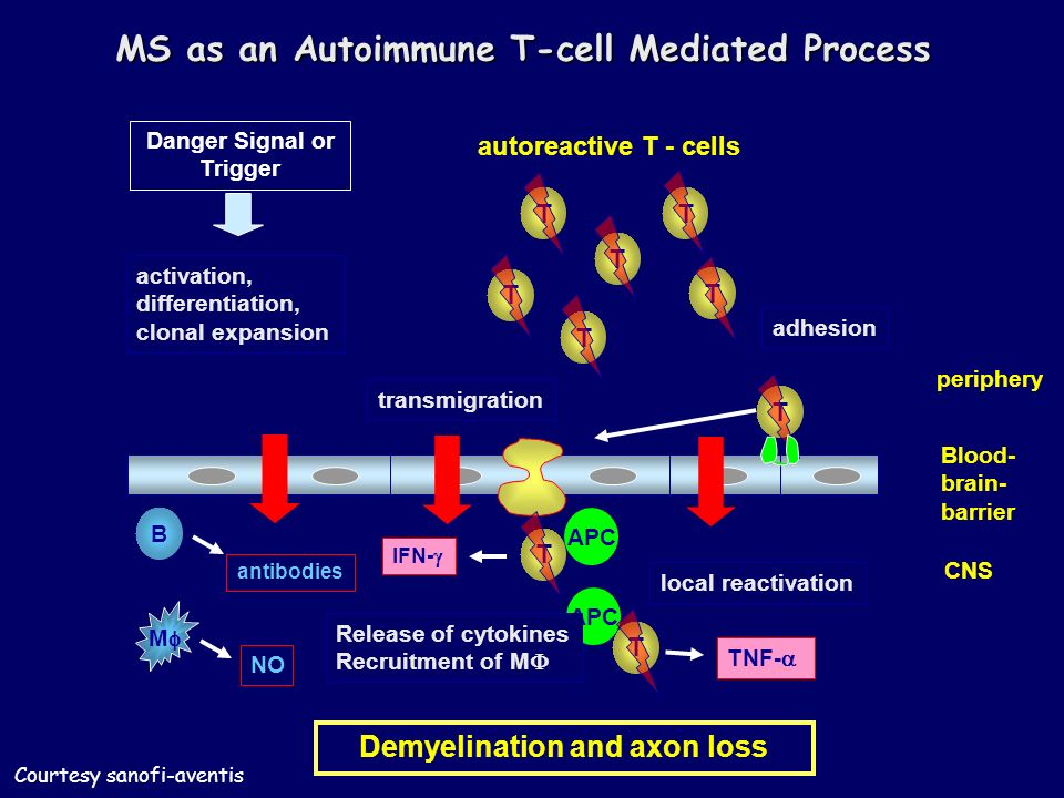 periphery Demyelination and axon loss Blood- brain- barrier transmigration CNS T T autoreactive T - cells Danger Signal or Trigger activation, differentiation, clonal expansion T T T T local reactivation T T APC adhesion T Release of cytokines Recruitment of M antibodies B M NO IFN- TNF- MS as an Autoimmune T-cell Mediated Process Courtesy sanofi-aventis