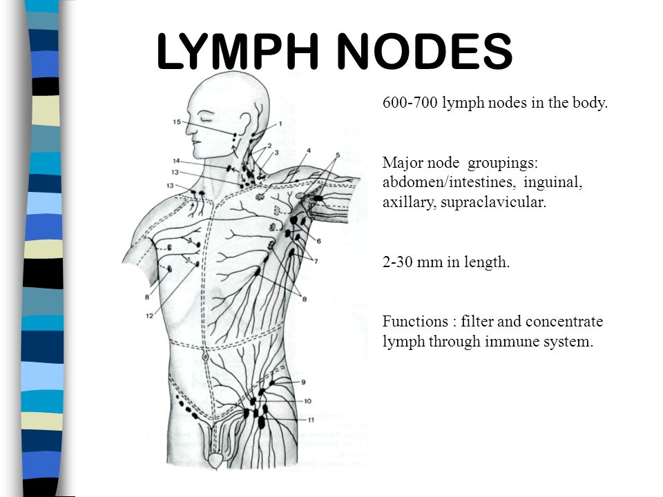 LYMPH NODES 600-700 lymph nodes in the body. Major node groupings: abdomen/intestines, inguinal, axillary, supraclavicular. 2-30 mm in length. Functio