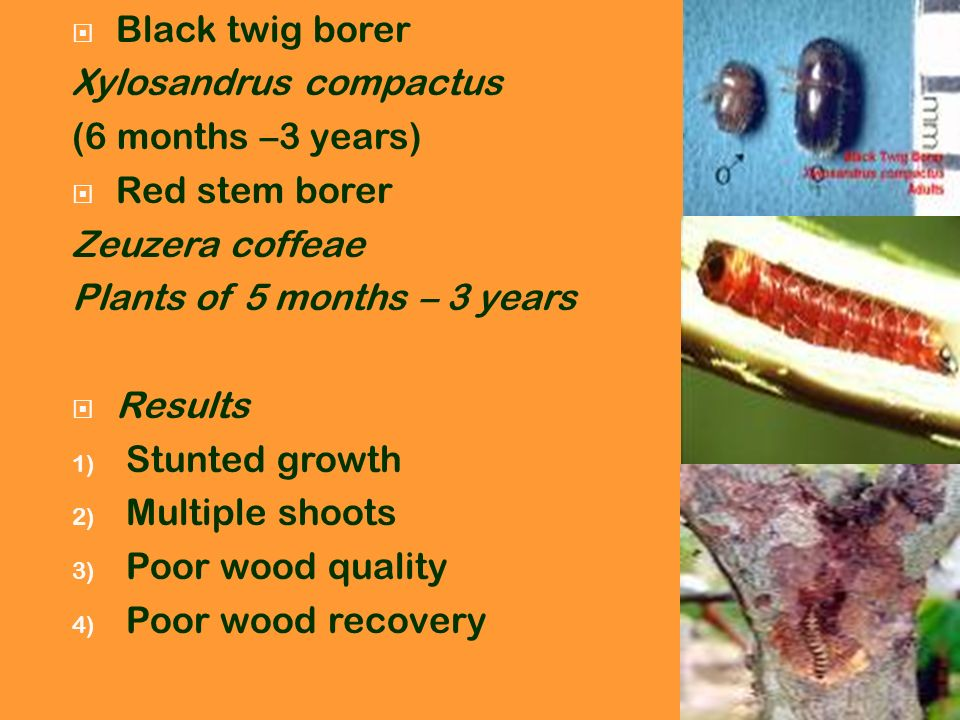 Black twig borer Xylosandrus compactus (6 months –3 years) Red stem borer Zeuzera coffeae Plants of 5 months – 3 years Results 1) Stunted growth 2) Mu