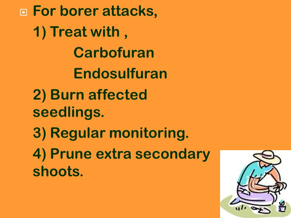 For borer attacks, 1) Treat with, Carbofuran Endosulfuran 2) Burn affected seedlings. 3) Regular monitoring. 4) Prune extra secondary shoots.