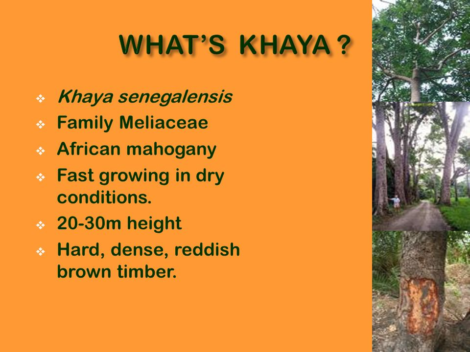 Khaya senegalensis Family Meliaceae African mahogany Fast growing in dry conditions. 20-30m height Hard, dense, reddish brown timber.