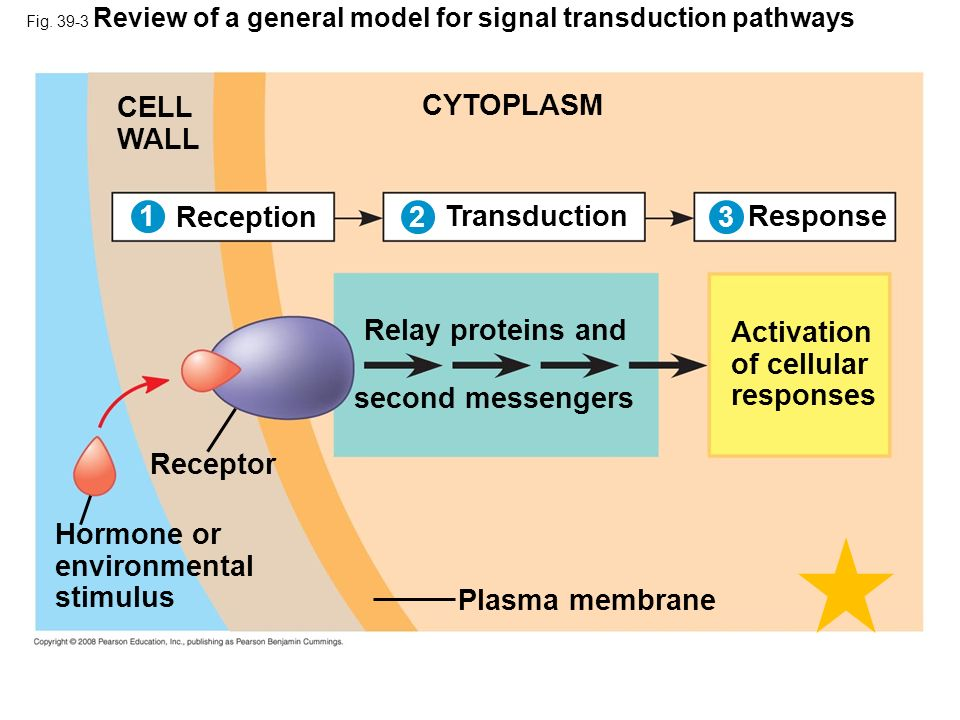 Copyright © 2008 Pearson Education, Inc., publishing as Pearson Benjamin Cummings Reception/Transduction Internal/external signals are detected by receptors, proteins that change in response to specific stimuli – Phytochrome functioning in de-etiolation located in cytoplasm, not built into plasma membrane as most receptors Second messengersSecond messengers (small molecules/ions in cell transfer and amplify signals from receptors to proteins that cause responses) activate hundreds of molecules of specific enzyme from one activated phytochrome molecule