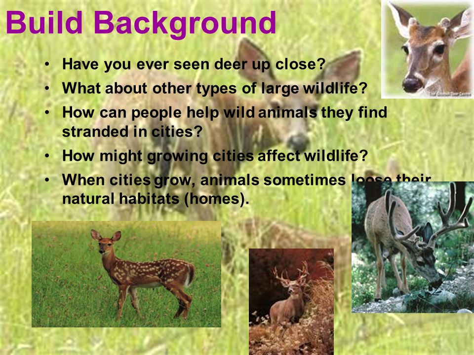 Have you ever seen deer up close? What about other types of large wildlife? How can people help wild animals they find stranded in cities? How might g