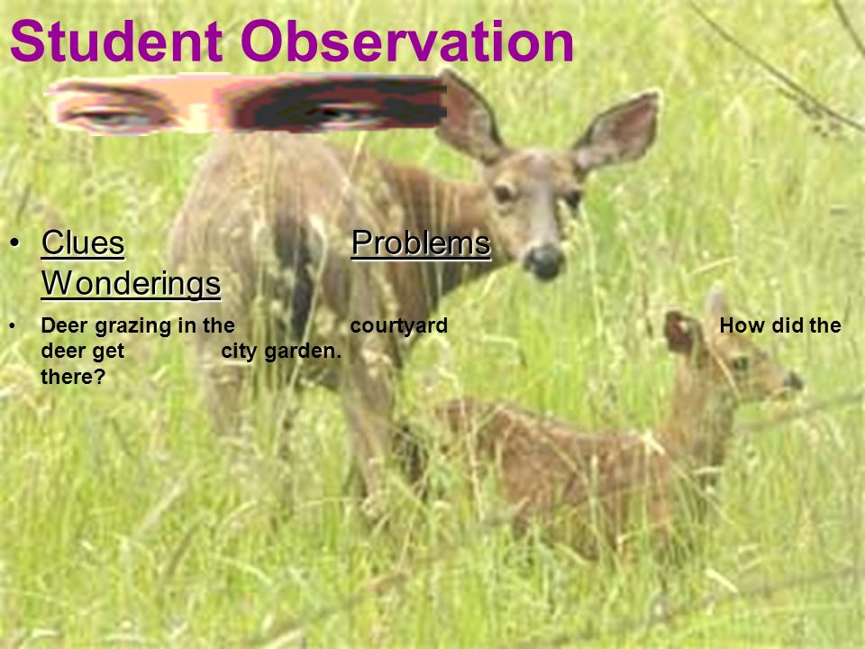 Clues Problems WonderingsClues Problems Wonderings Deer grazing in the courtyard How did the deer get city garden. there? Student Observation