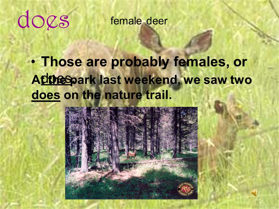 does Those are probably females, or does. female deer At the park last weekend, we saw two does on the nature trail.