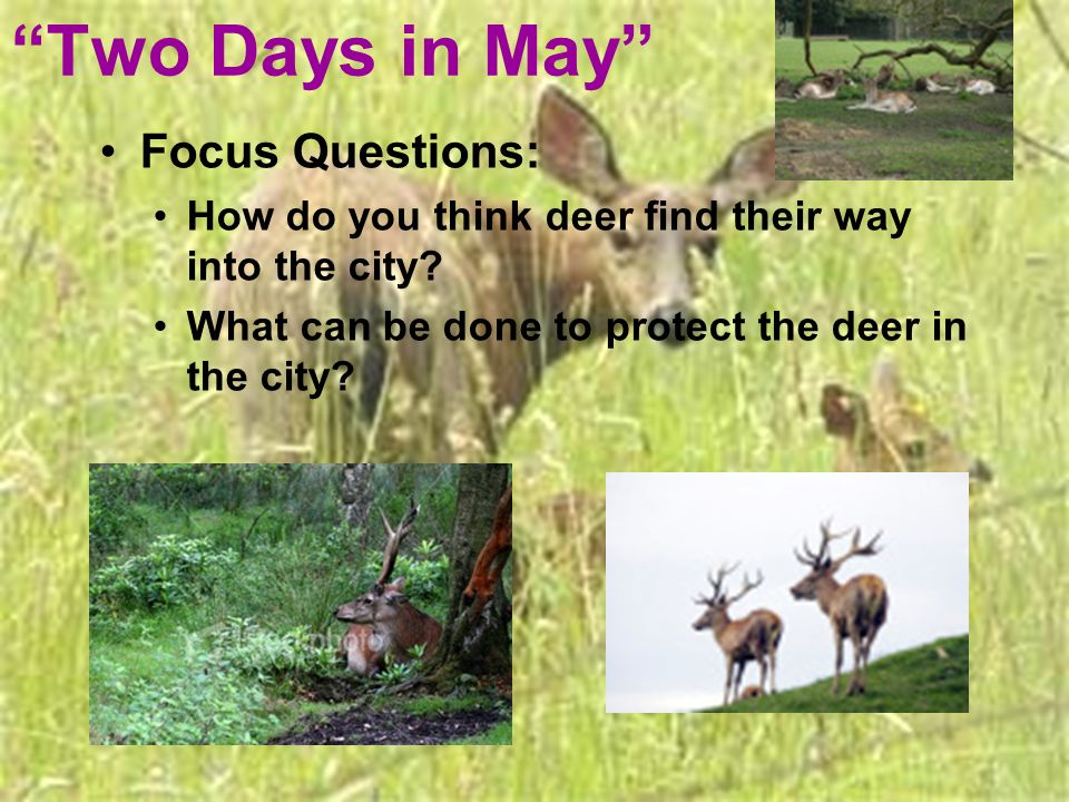 Two Days in May Focus Questions: How do you think deer find their way into the city? What can be done to protect the deer in the city?