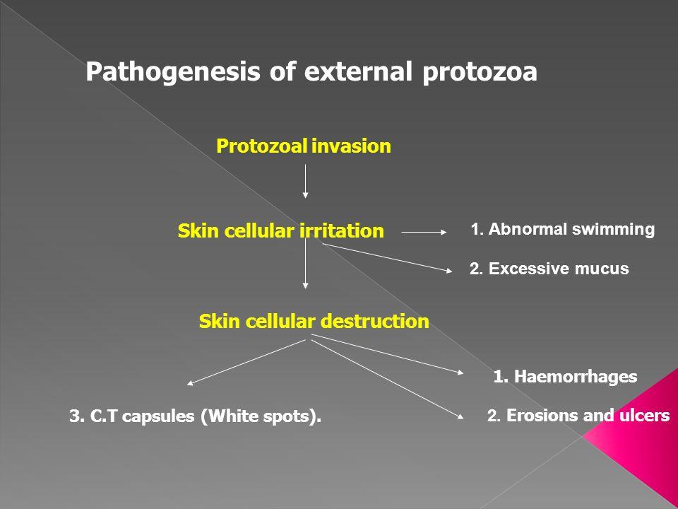 Pathogenesis of external protozoa Protozoal invasion Skin cellular irritation 1. Abnormal swimming 2. Excessive mucus Skin cellular destruction 1. Hae