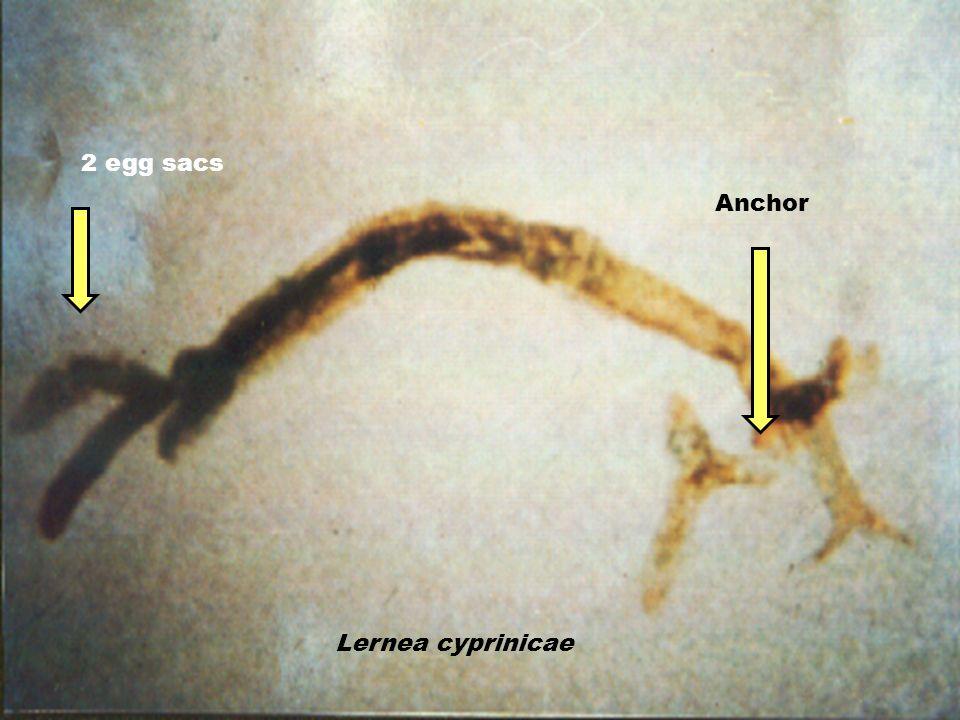Lernea cyprinicae Anchor 2 egg sacs