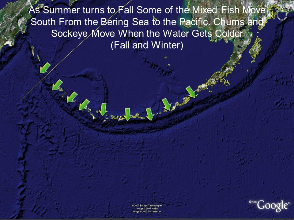 As Summer turns to Fall Some of the Mixed Fish Move South From the Bering Sea to the Pacific.