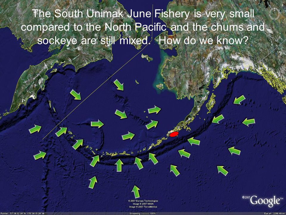 The South Unimak June Fishery is very small compared to the North Pacific and the chums and sockeye are still mixed.