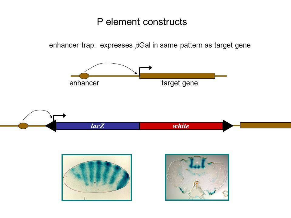 UASwhite controlled misexpression: expresses target gene in Gal4- dependent manner P element constructs GAL4white GAL4 enhancer trap: expresses Gal4p in same pattern as target gene