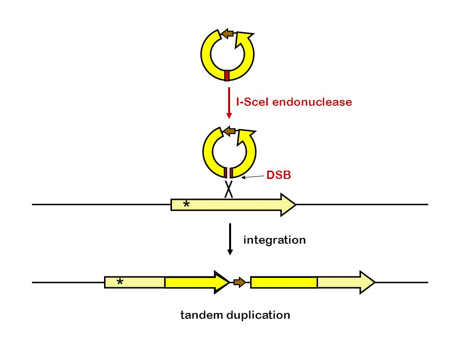 I-SceI endonuclease DSB * * integration tandem duplication