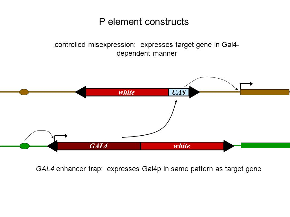 UASwhite controlled misexpression: expresses target gene in Gal4- dependent manner P element constructs GAL4white GAL4 enhancer trap: expresses Gal4p