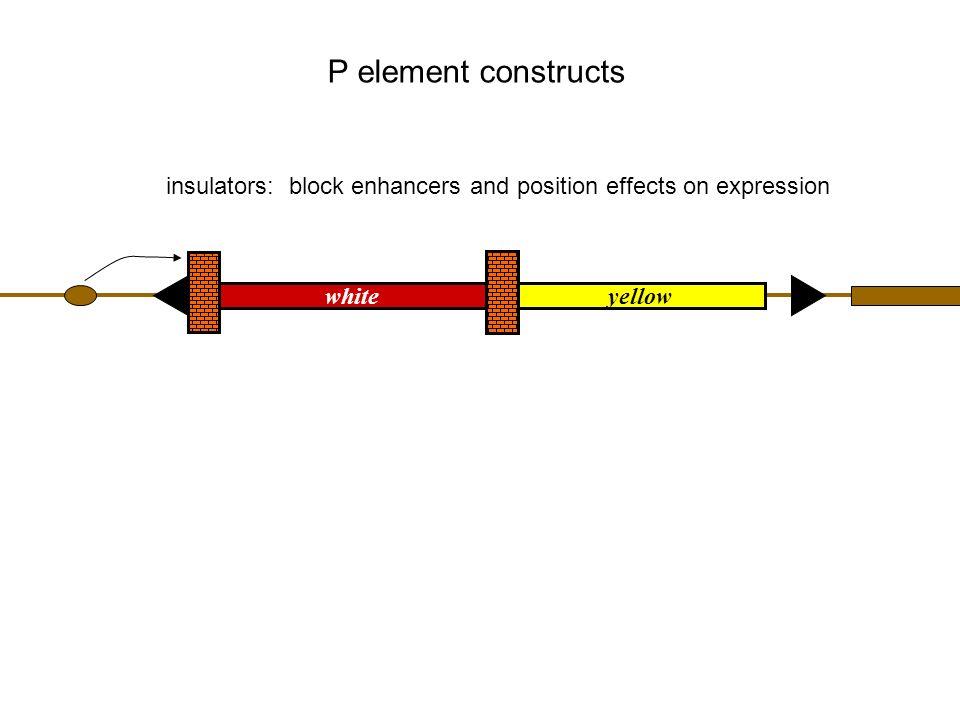 Reverse Genetics in Drosophila I.P elements in reverse genetics A.