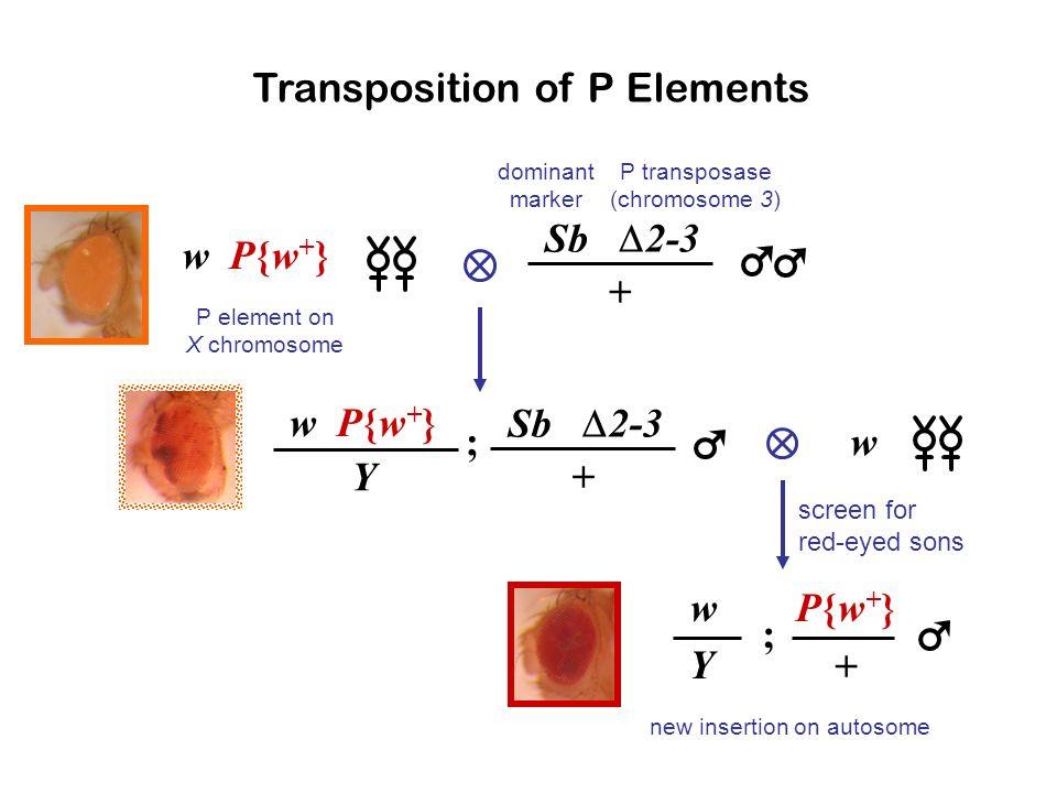 Spradling et al. (1995) P elements rarely insert into coding sequences