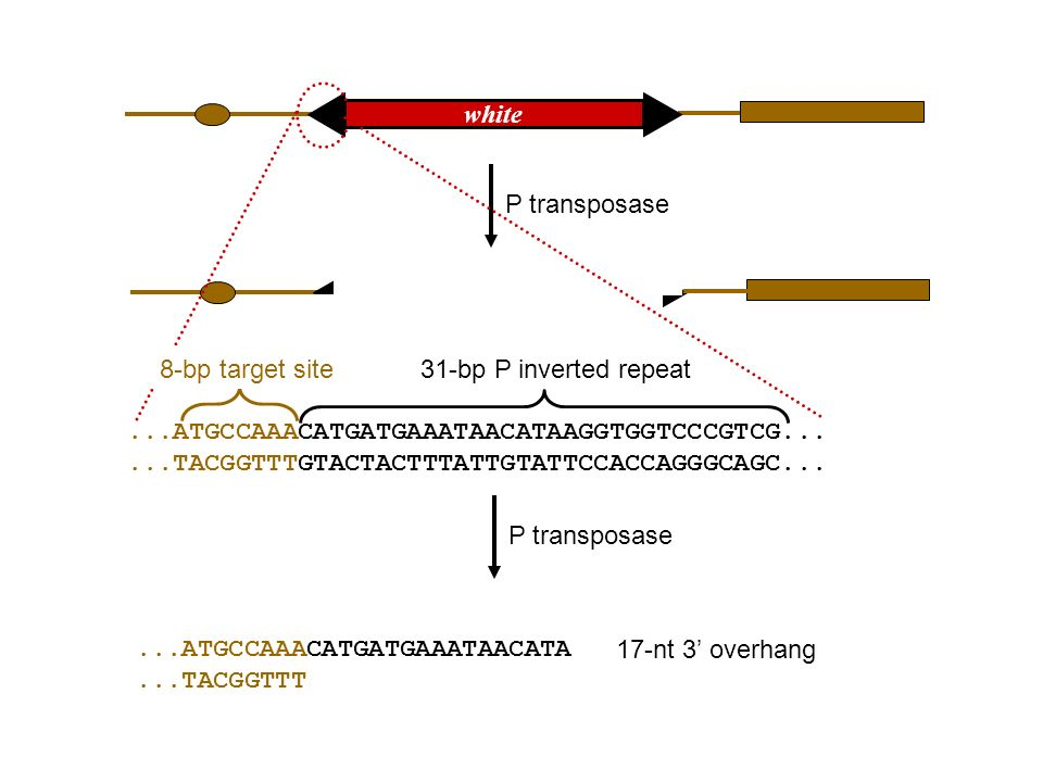 different products, depending on: template for repair extent of repair gap widening before repair non-homologous end-joining homologous recombination (double-strand break)