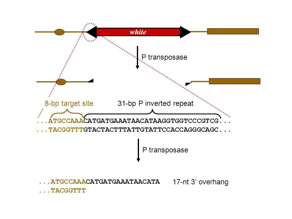 5 ATTACCCTGTTATCCCTAAATT 3 3 TAATGGGACAATAGGGATTTAA 5 5 ATTACCCTGTTAT CCCTAAATT 3 3 TAATGGGAC AATAGGGATTTAA 5 I-SceI I-SceI makes a double-strand break at an 18-bp target sequence