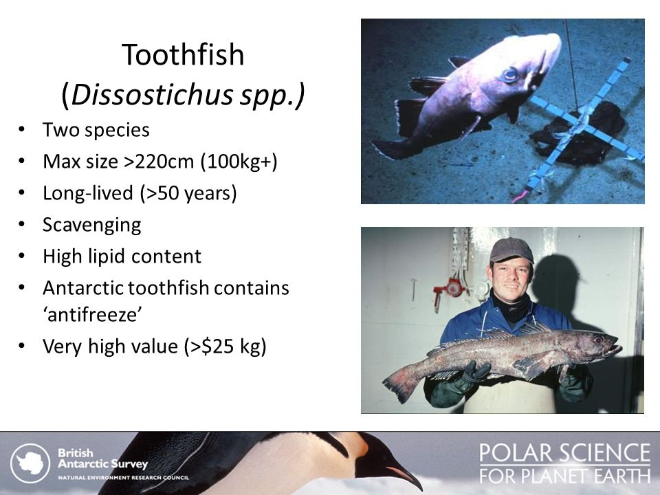 Toothfish (Dissostichus spp.) Two species Max size >220cm (100kg+) Long-lived (>50 years) Scavenging High lipid content Antarctic toothfish contains a