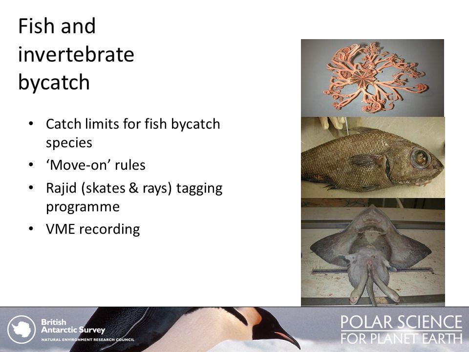 Fish and invertebrate bycatch Catch limits for fish bycatch species Move-on rules Rajid (skates & rays) tagging programme VME recording