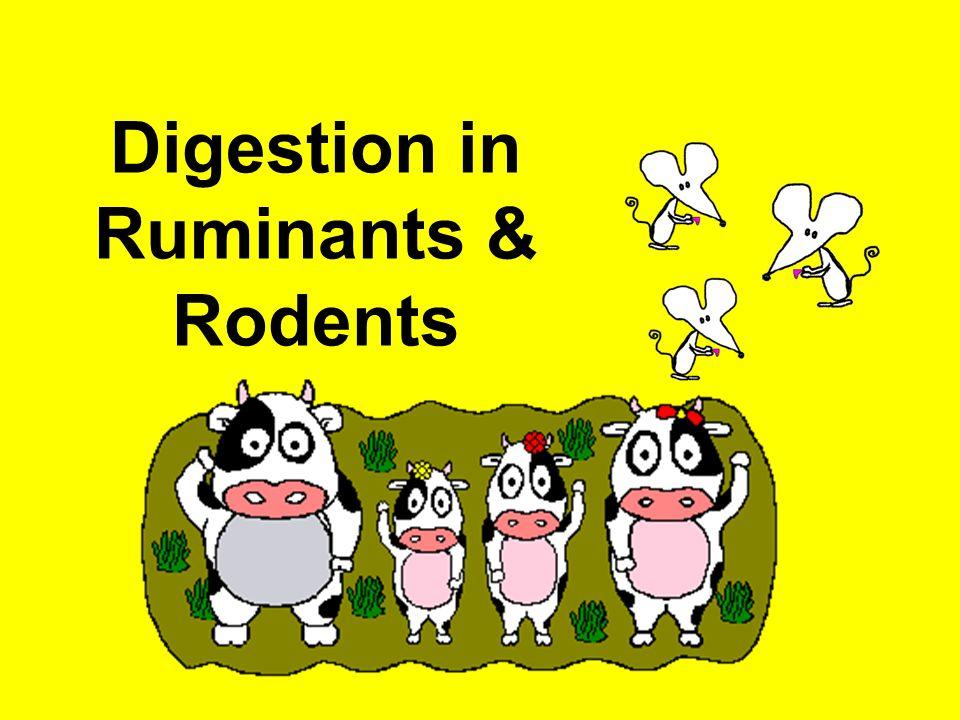 Ruminants Herbivore mammals Eg. Cow, goat, giraffe, deer Feed on plant - cellulose