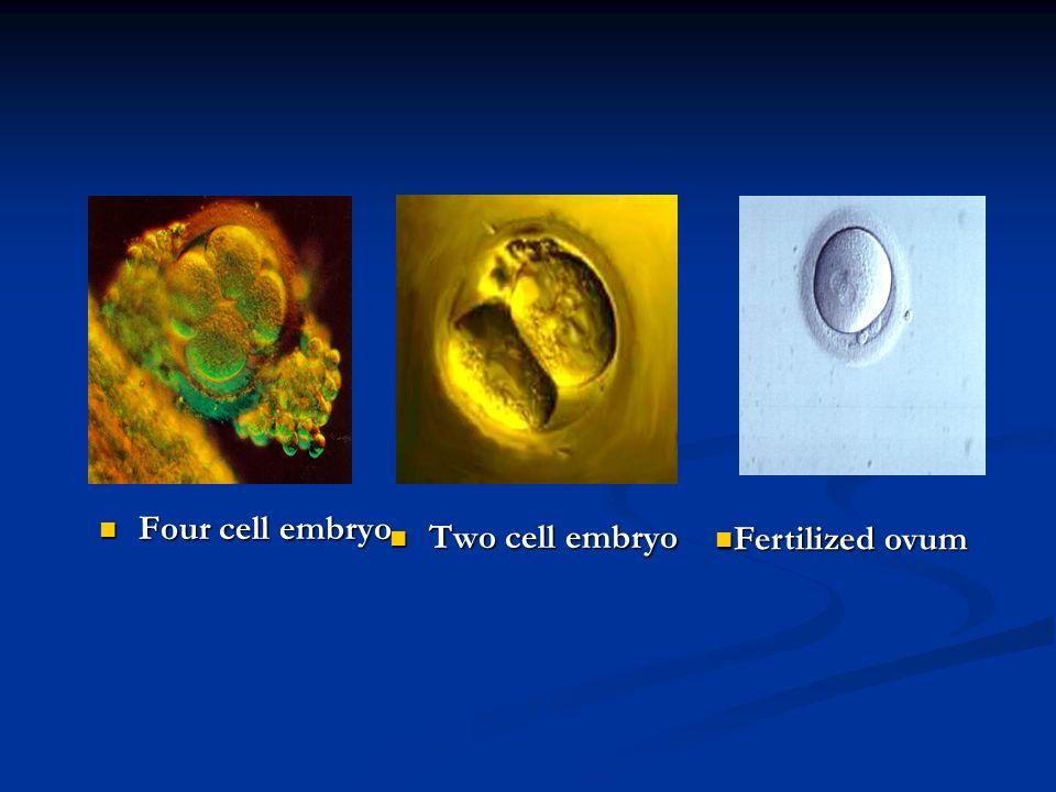 Four cell embryo Four cell embryo Two cell embryo Fertilized ovum Fertilized ovum