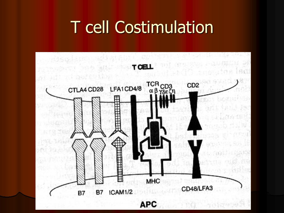 T cell Costimulation