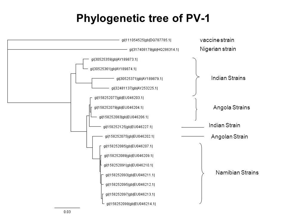 Phylogenetic tree of PV-1 vaccine strain Indian Strains Angola Strains Indian Strain Angolan Strain Namibian Strains Nigerian strain