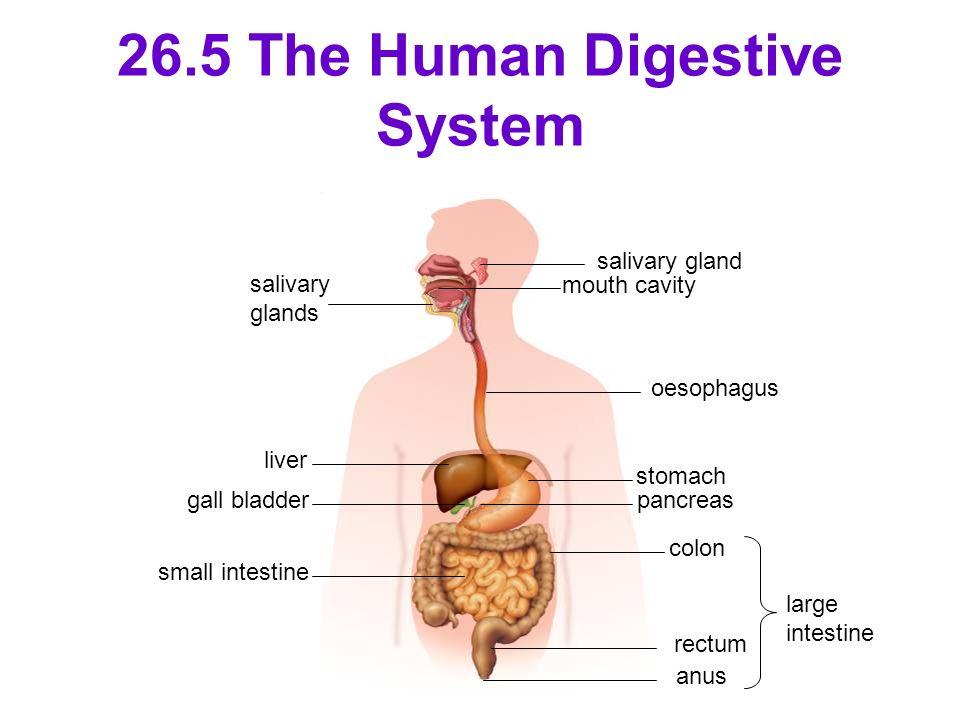 26.5 The Human Digestive System salivary gland mouth cavity oesophagus stomach salivary glands pancreas colon rectum anus large intestine liver gall b