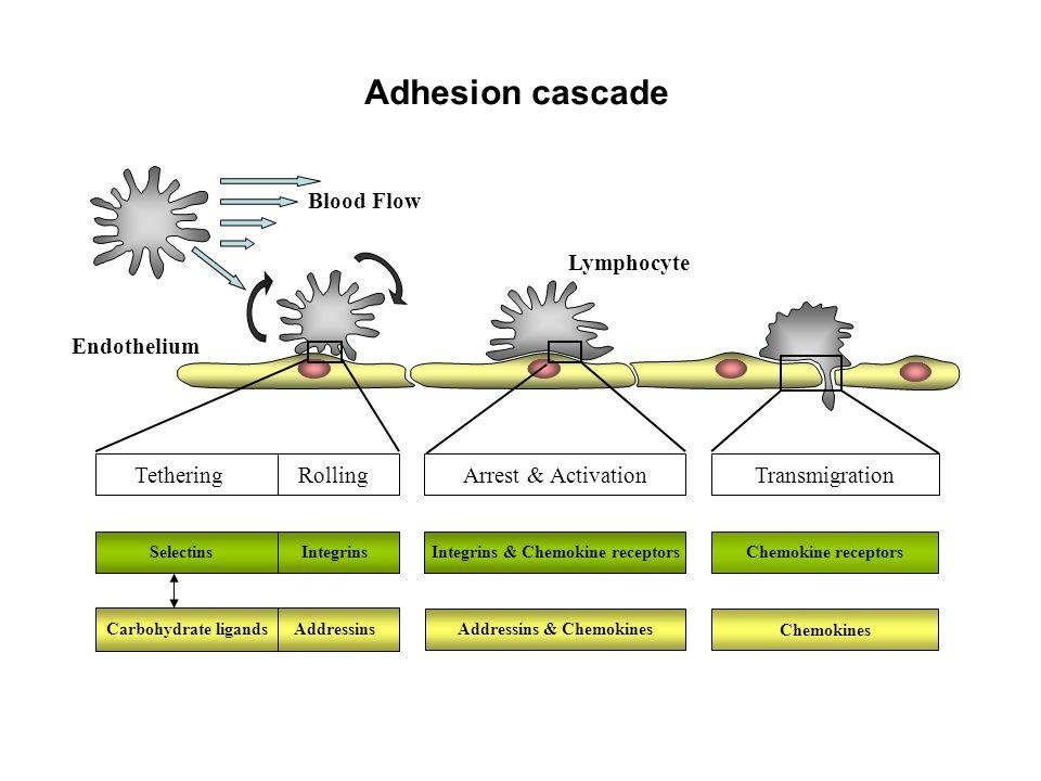 Transmigration Tethering RollingArrest & Activation Endothelium Blood Flow Lymphocyte Selectins IntegrinsIntegrins & Chemokine receptorsChemokine rece