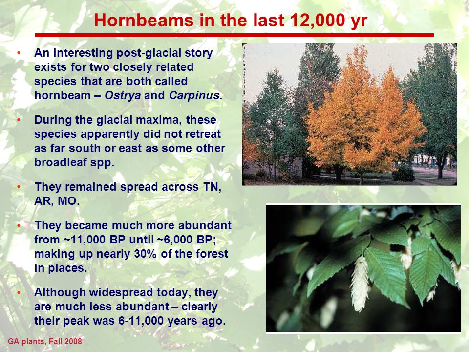GA plants, Fall 2008 Hornbeams in the last 12,000 yr An interesting post-glacial story exists for two closely related species that are both called hornbeam – Ostrya and Carpinus.