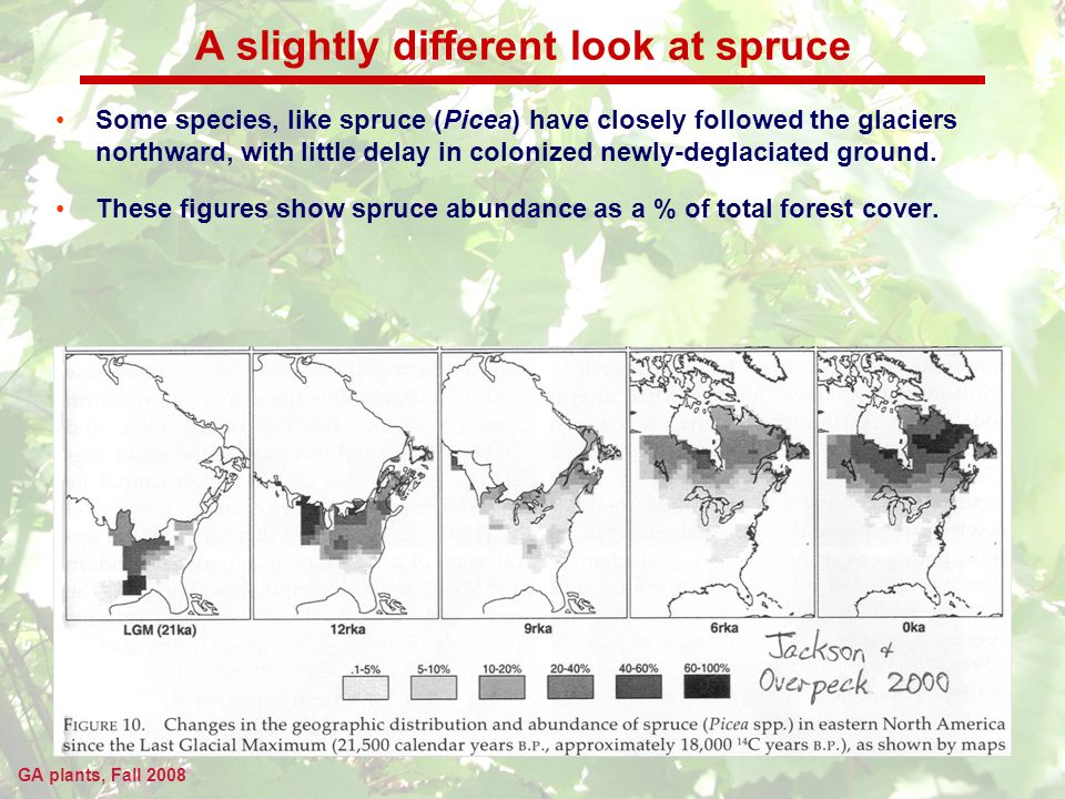 GA plants, Fall 2008 A slightly different look at spruce Some species, like spruce (Picea) have closely followed the glaciers northward, with little delay in colonized newly-deglaciated ground.