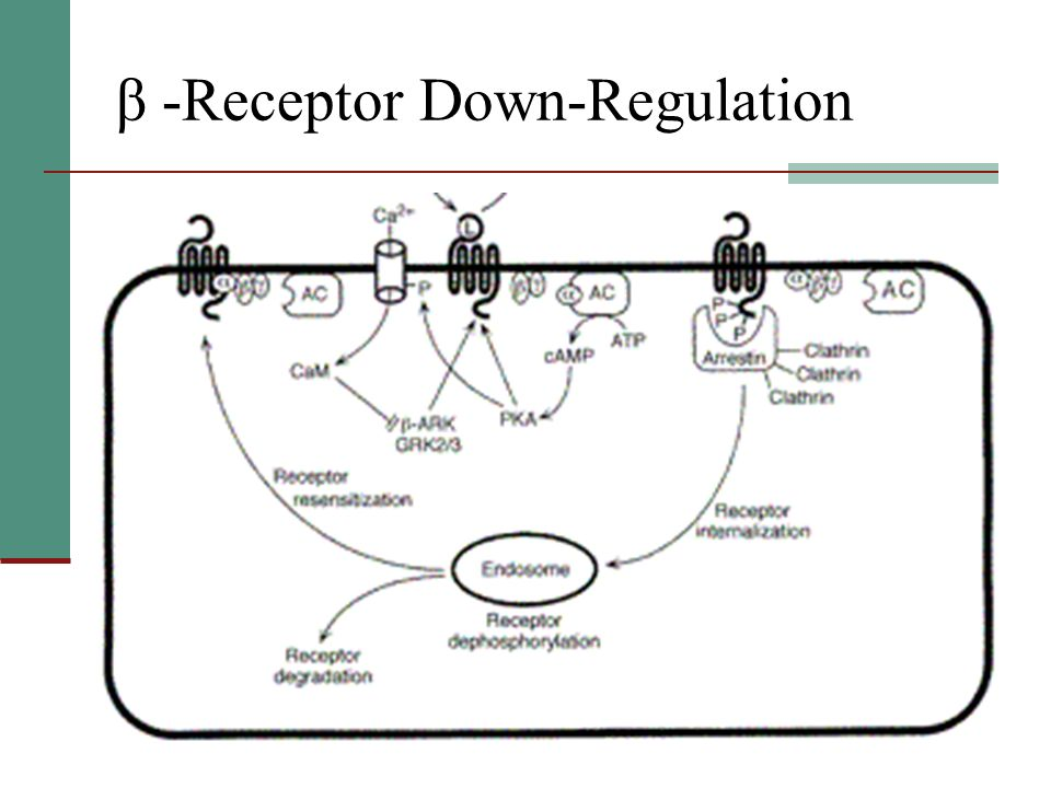 β -Receptor Down-Regulation