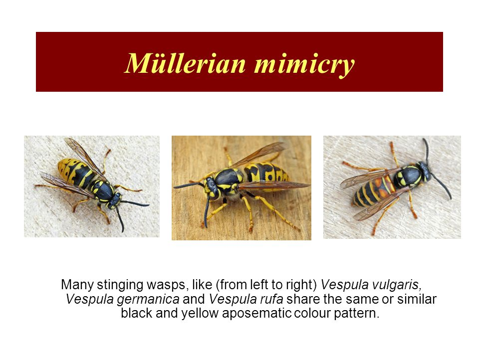 Müllerian mimicry Many stinging wasps, like (from left to right) Vespula vulgaris, Vespula germanica and Vespula rufa share the same or similar black