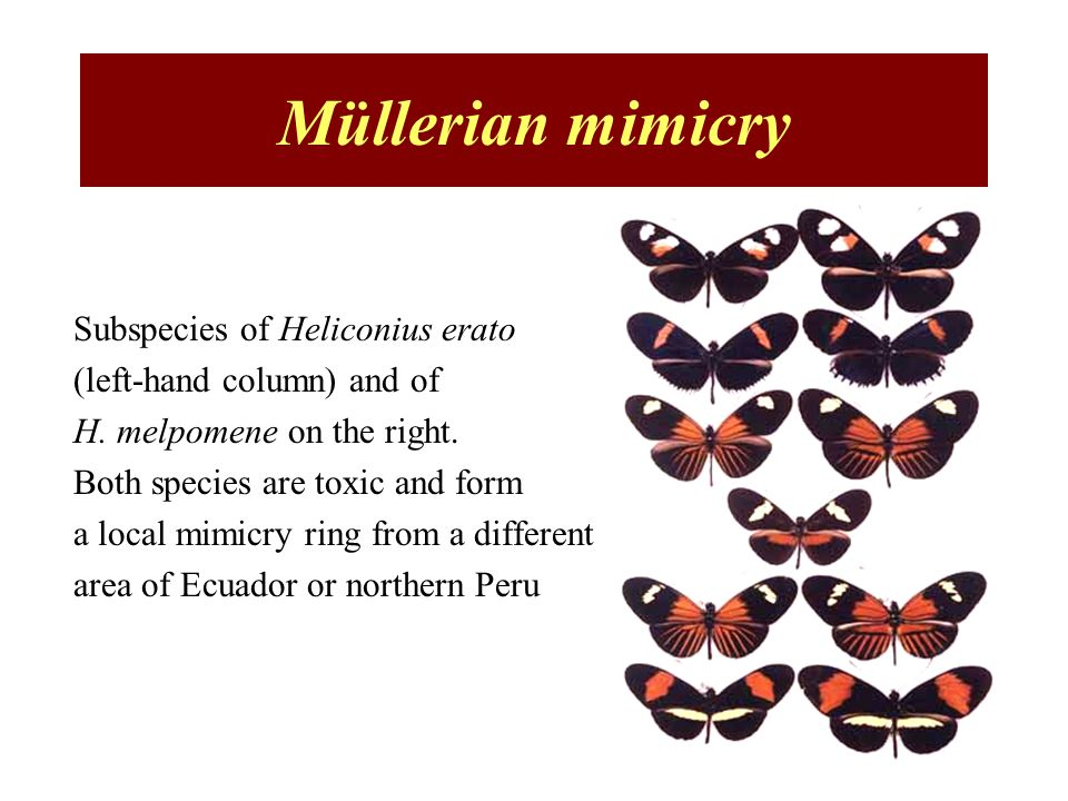 Müllerian mimicry Subspecies of Heliconius erato (left-hand column) and of H. melpomene on the right. Both species are toxic and form a local mimicry
