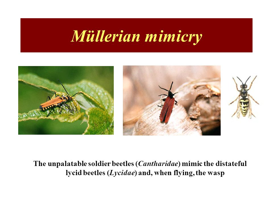 Müllerian mimicry The unpalatable soldier beetles (Cantharidae) mimic the distateful lycid beetles (Lycidae) and, when flying, the wasp