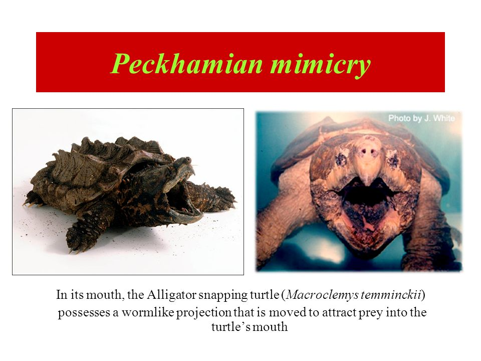 In its mouth, the Alligator snapping turtle (Macroclemys temminckii) possesses a wormlike projection that is moved to attract prey into the turtles mo