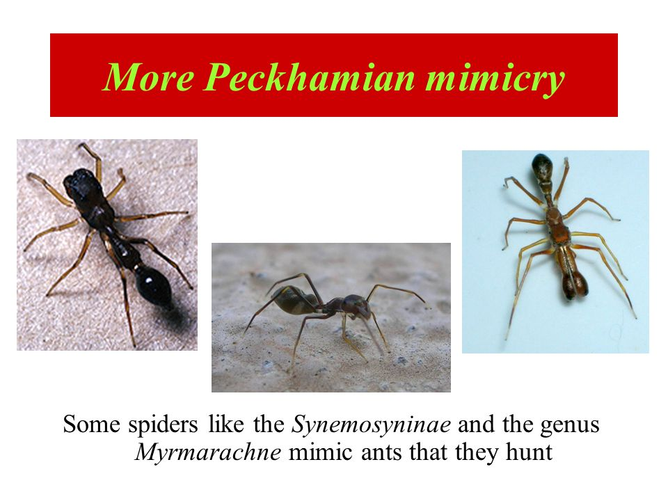 Some spiders like the Synemosyninae and the genus Myrmarachne mimic ants that they hunt More Peckhamian mimicry