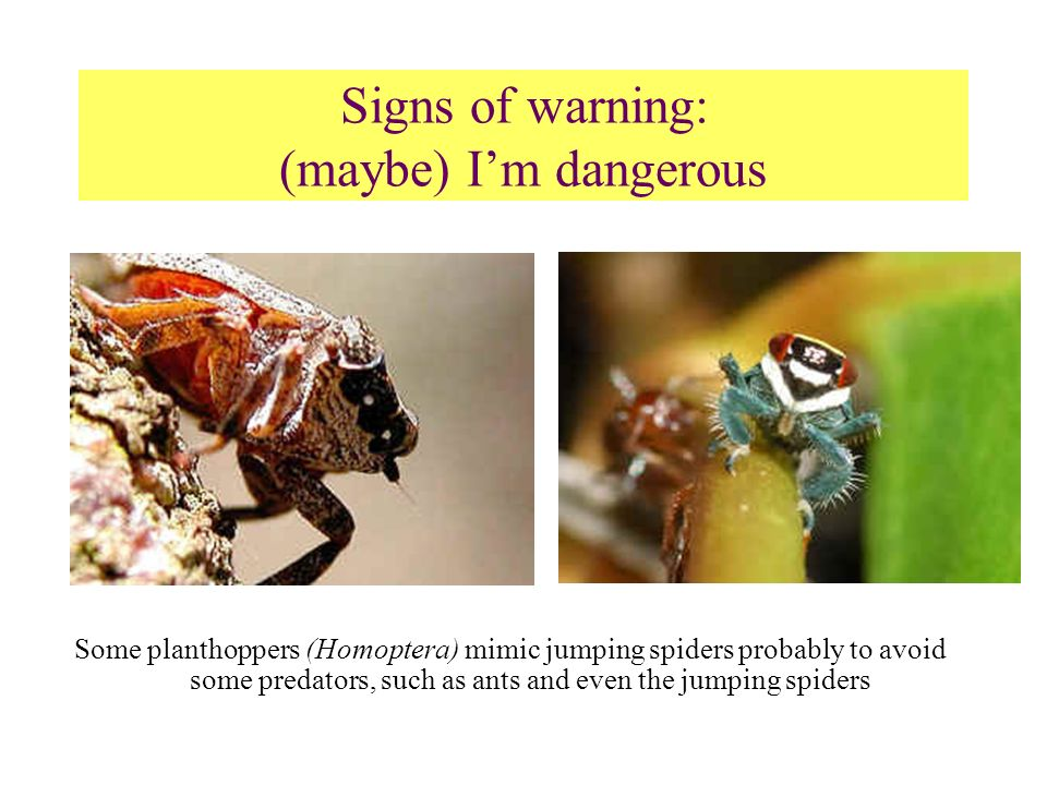 Some planthoppers (Homoptera) mimic jumping spiders probably to avoid some predators, such as ants and even the jumping spiders Signs of warning: (may