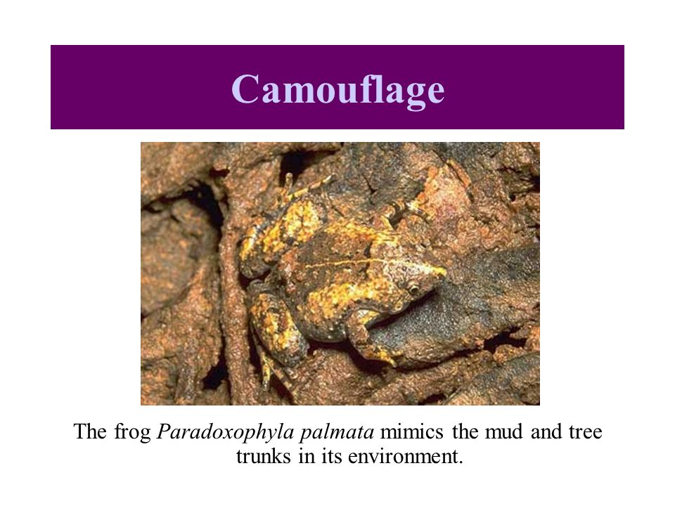 The frog Paradoxophyla palmata mimics the mud and tree trunks in its environment. Camouflage